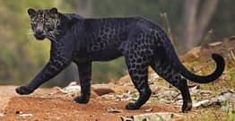 Incredible Rare Black Leopard Spotted Hunting Deer In National Park
