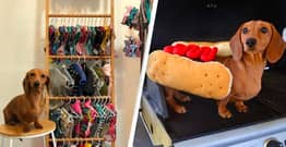 Spoilt Dachshund Has So Many Clothes Owner Gives Up Wardrobe To Make Room For Them