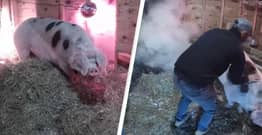 Woman Watching Live Stream Of Pregnant Pig Saves Its Life When Barn Catches Fire