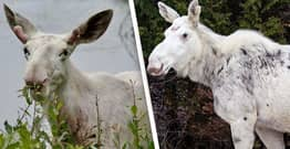 Rare Sacred Spirit Moose Killed By Suspected Poachers