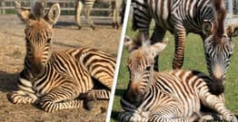 Baby Zebra Died After Being Spooked By Fireworks, Zookeepers Say