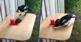Computer Scientist Trains Magpies To Exchange Bottle Caps For Food
