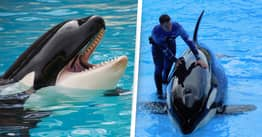 Orcas Are More Emotionally Complex Than We Think