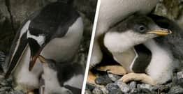 Same-Sex Penguin Couple Become Dads For Second Time