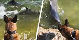 Police Dog In Australia Befriends Pair Of Dolphins He Spots Swimming In River