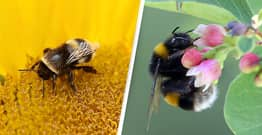 A Quarter Of All Known Bee Species Haven't Been Seen Since The 1990s