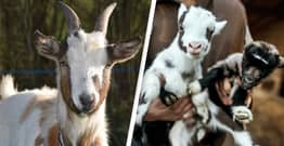 Lancashire Farm Makes £50,000 During Pandemic By Offering Zoom Calls With Goats