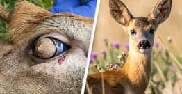 Deer With Hairy Eyeballs Found Roaming Around Tennessee Suburb
