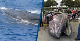 New Species Of Whale Identified In Gulf Of Mexico But There Are Fewer Than 100 Left