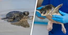 2,500 'Cold-Stunned' Sea Turtles Rescued From Texas Beach As Temperatures Plummet