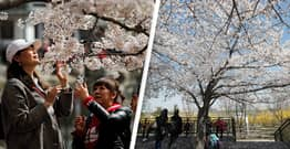Climate Change Made Kyoto's Cherry Blossoms Bloom The Earliest They Have In 1,200 Years