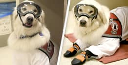 Adorable Service Dog Learns To Wear PPE So He Can Stay In Lab With Owner