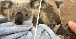 Here's How Koalas Are Doing A Year After The Deadly Australian Bushfires