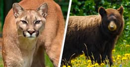 Colorado Court Stops Controversial Plans To Slaughter Mountain Lions And Black Bears