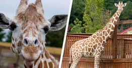 April The Giraffe, Whose Pregnancy Captivated The World, Dies Aged 20