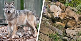 Idaho Lawmakers To Vote On Plans To Kill 1,000 Wolves Today