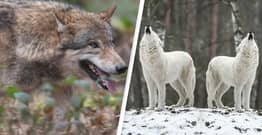 Idaho Passes Bill To Kill 90% Of The State's Wolves