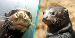 Super Cute Giant Otter Thought To Be Extinct Spotted In Argentina
