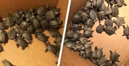 More Than 800 Baby Turtles Saved From Storm Drain After They Got Lost Crossing Street