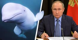 Beluga Whale Accused Of Being Russian Spy Seeking Refuge In Norway