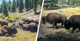 First Bison Hunt At Grand Canyon National Park Asking For Volunteers To Kill Hundreds Of Animals