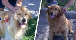 20 Golden Retrievers Rescued From Meat Markets Have Found Homes