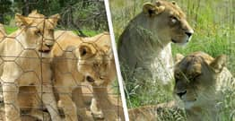 South Africa To Ban Breeding Captive Lions For Hunting