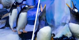 Two Same-Sex Penguin Couples Form At London Aquarium