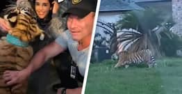 Tiger Filmed Walking Through Neighbourhood Finally Found After Six-Day Search