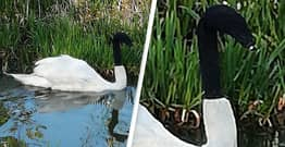 Swan Found With Sock On Head In 'Mindless Prank' Could Have Died