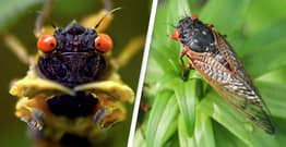 Americans Warned To Stop Eating Cicadas