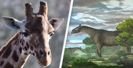 Fossils Of New Rhino Species That Was 'Taller Than Giraffe' Found In China