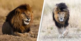 Scarface, 'The World's Most Famous Lion', Dies Aged 14