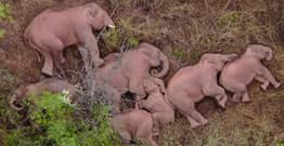 Elephants Trekking 500km Across China Pictured Taking Well-Deserved Rest