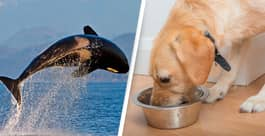 Whalers Are Selling Off Whale Meat As Dog Food, New Document Reveals