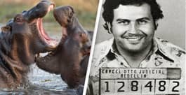 Pablo Escobar's Cocaine Hippos Are Legally People And Have The Right To A Case, US Court Says