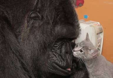 Koko The Gorilla Adopts Two Kittens As She's Unable To Have Kids