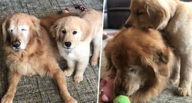 Blind Golden Retriever Gets His Very Own 'Guide Dog'