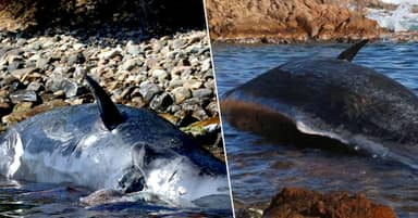 Dead Pregnant Whale Had 22kg Of Plastic In Stomach