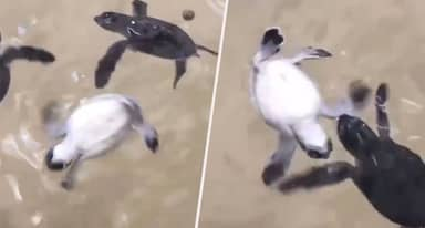 The Horrifying Truth Behind That Viral Turtle Video