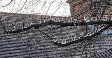 Anti-Bird Spikes Installed On Trees 'To Protect Cars From Poo'