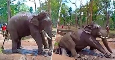 Elephant Collapses And Dies While Chained Up In National Park