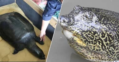 Last Female Yangtze Giant Softshell Turtle Has Just Passed Away
