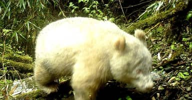 All-White Panda Photographed For First Time