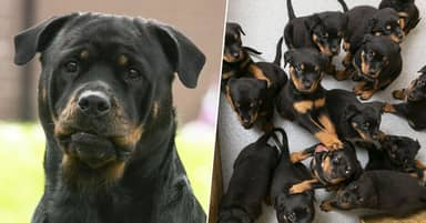 Rottweiler Gives Birth To UK's Largest Ever Litter Of Puppies