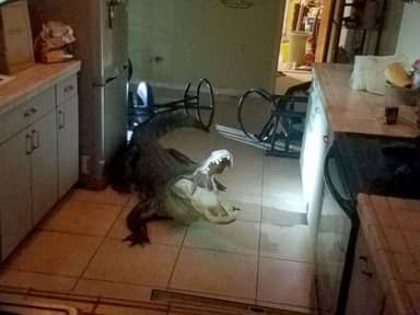 Florida Woman Wakes Up In Morning To Find 11-Foot Alligator In Kitchen