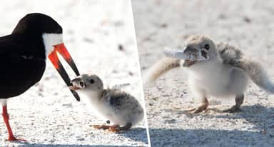 Baby Bird Fed Cigarette Butt After People 'Treat Beach Like Ashtray'