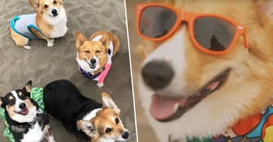1000 Corgis Take Over San Francisco Beach For Corgi Con