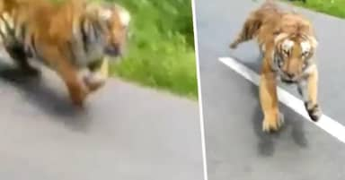 Motorcyclists Escape Death As Tiger Sprints After Them From Woods
