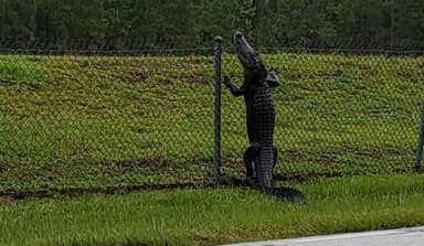 Alligator Filmed Climbing Over Fence And Making Way Into Military Base